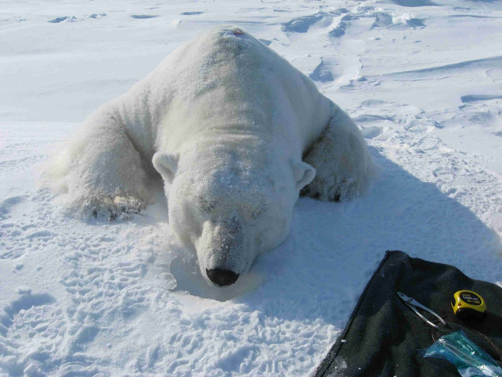Biologists Want to Know More About Global Warming and Polar Bears